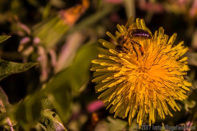 PurpleChrome_Bee