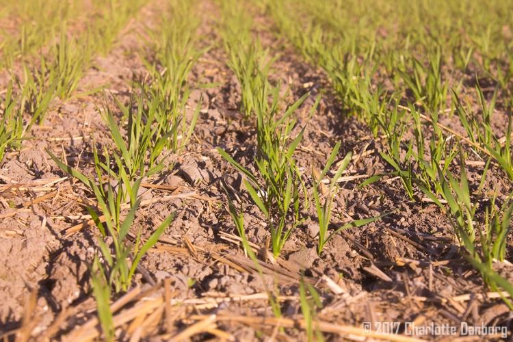 wellamo-wheat-seedlings