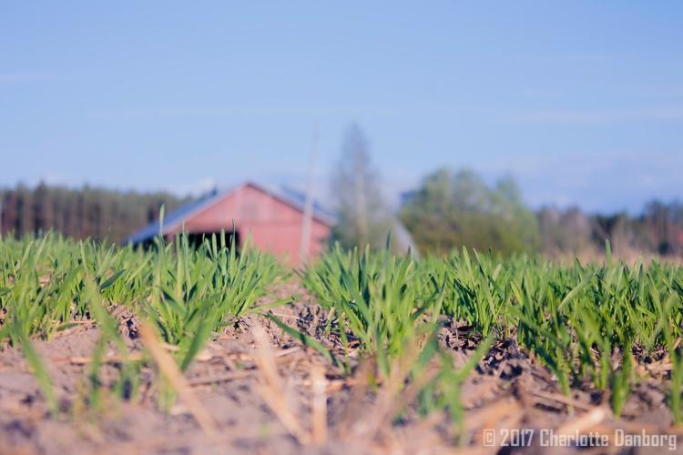 wellamo-wheat-seedling-field