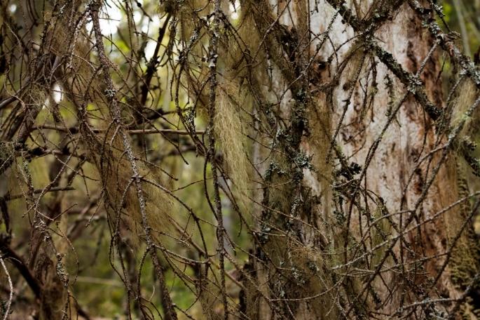 fishbone-beard-lichen