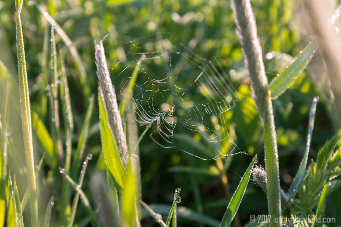 Morning Dew Web