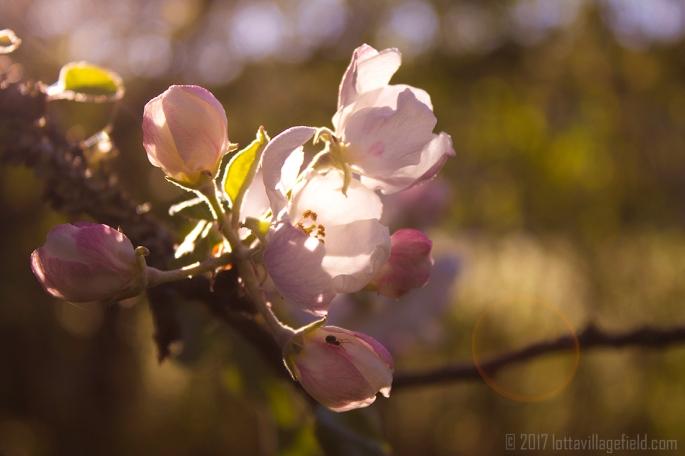 Morning Glory Blossom