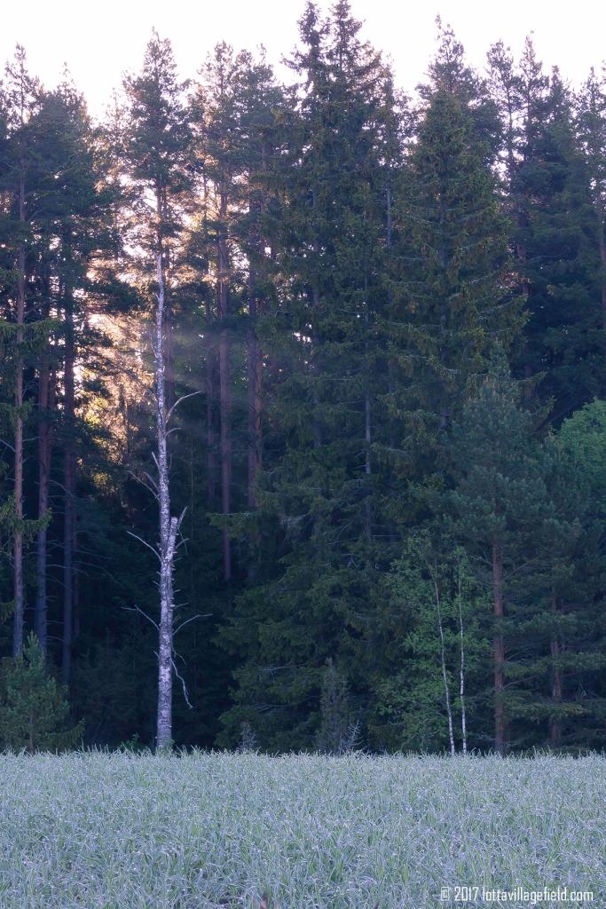 Passed Birch
