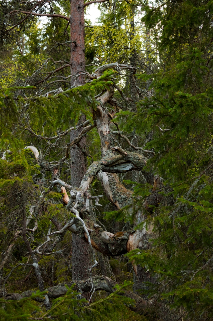 skule-mountain-forest-gnarly-mossy-tree