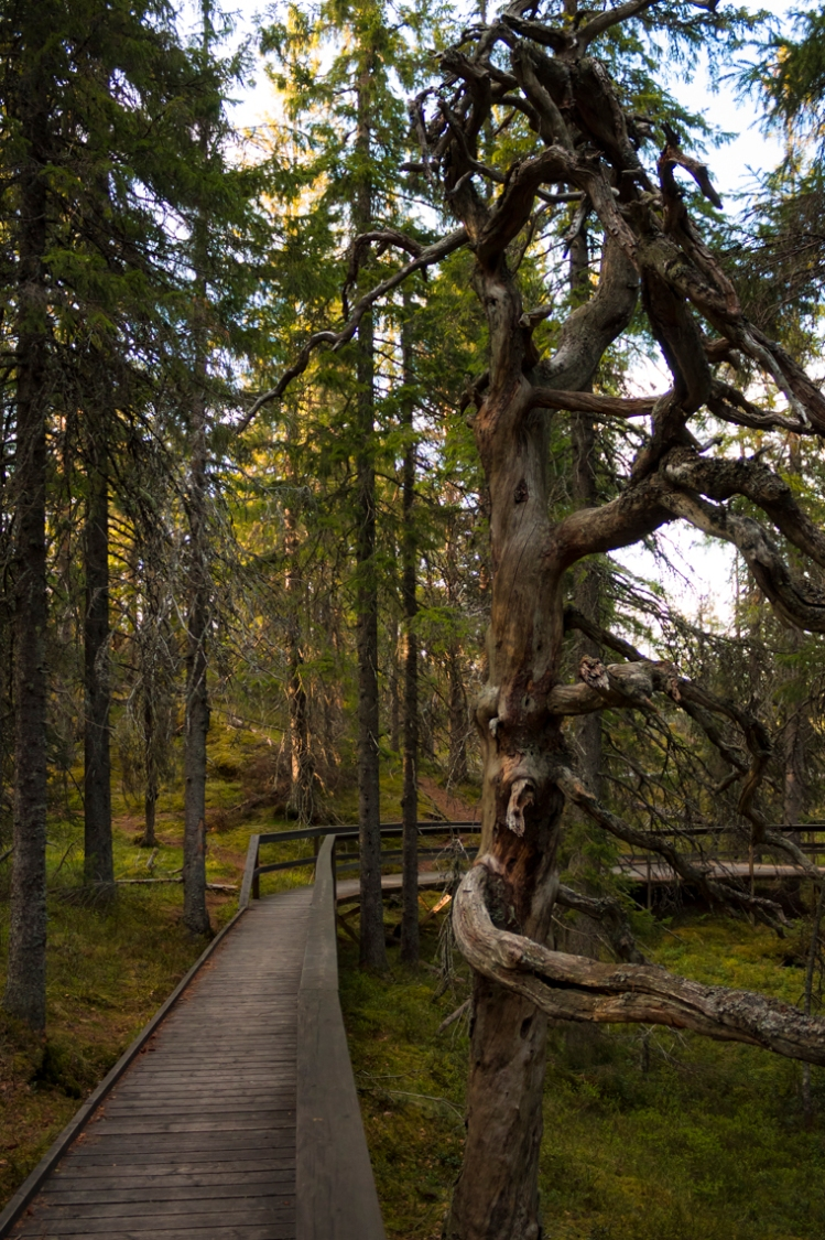 skule-mountain-top-forest-dead-gnarly-tree
