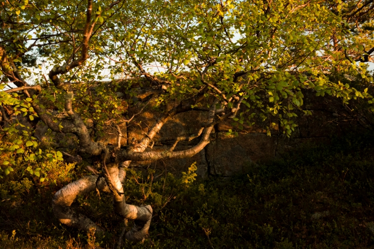 skule-mountain-top-twisted-birch