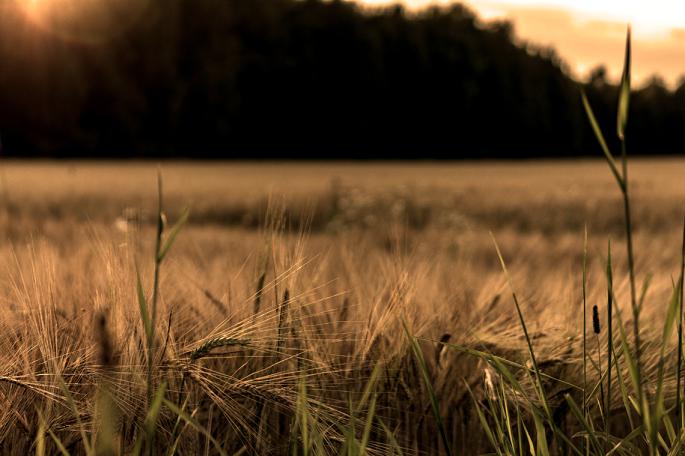 barley-foreground