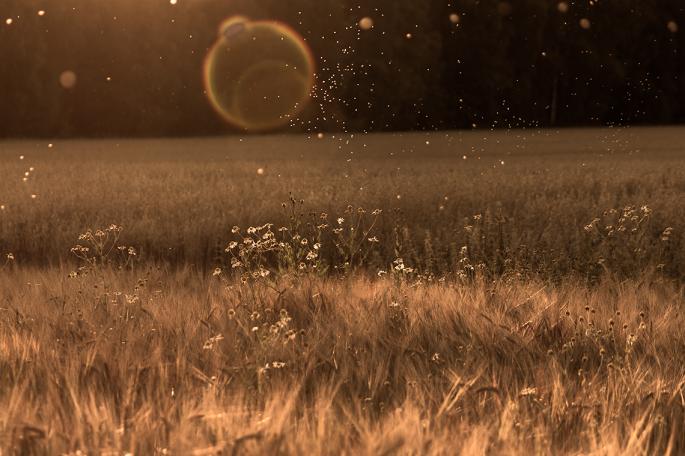 barley-sunflare