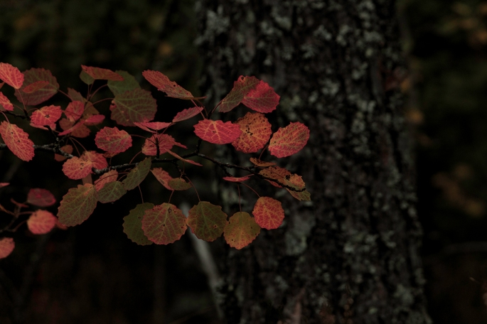 autumn-aspen-leaves