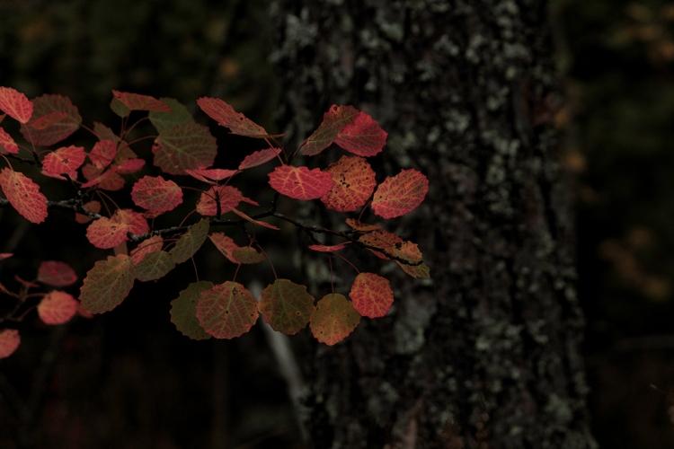 autumn-aspen-leaves