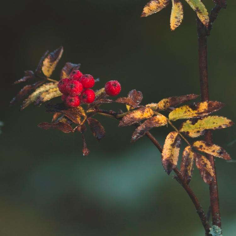 autumn-rowan-berries
