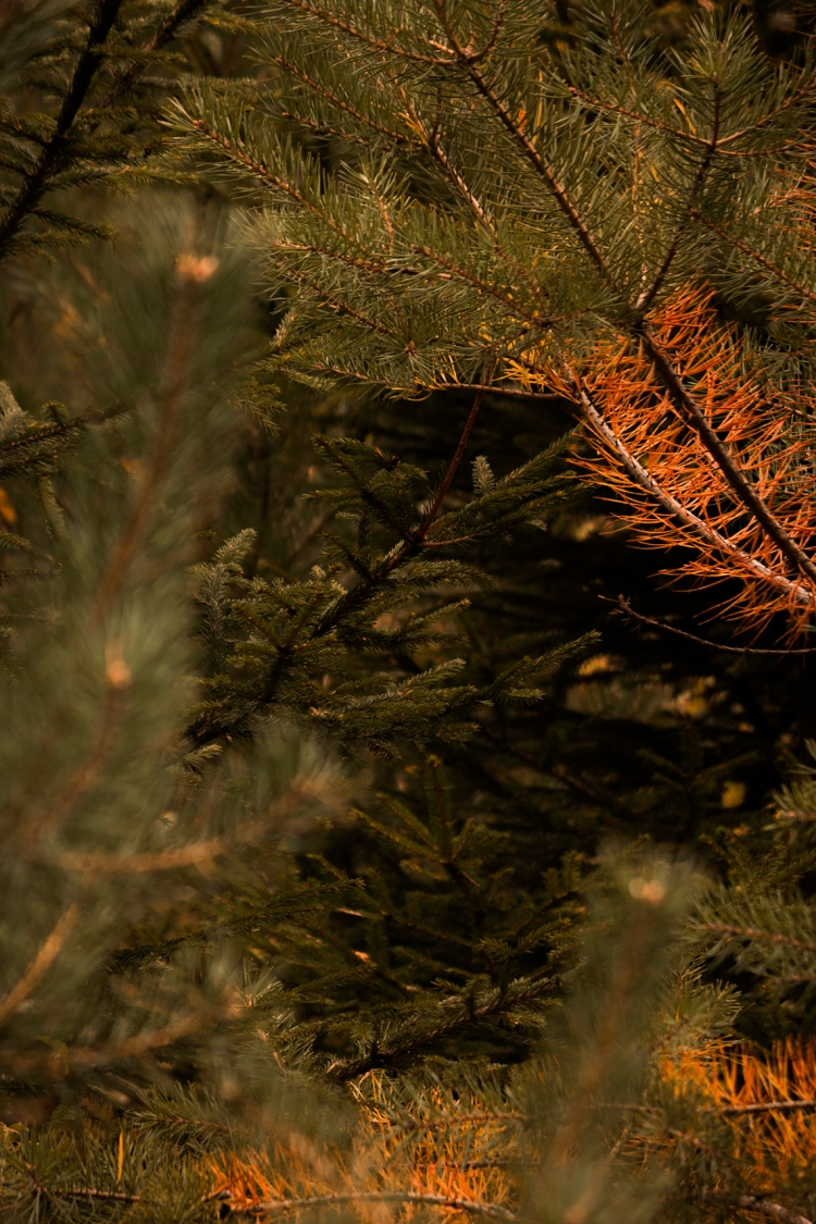 autumn-sea-of-evergreen-needles