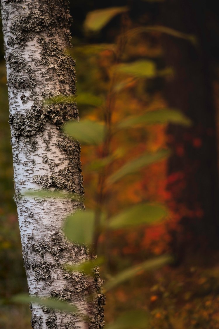 birch-trunk-autumn-colour-blur