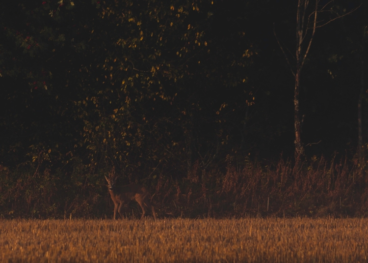 deer-in-misty-glowing-field