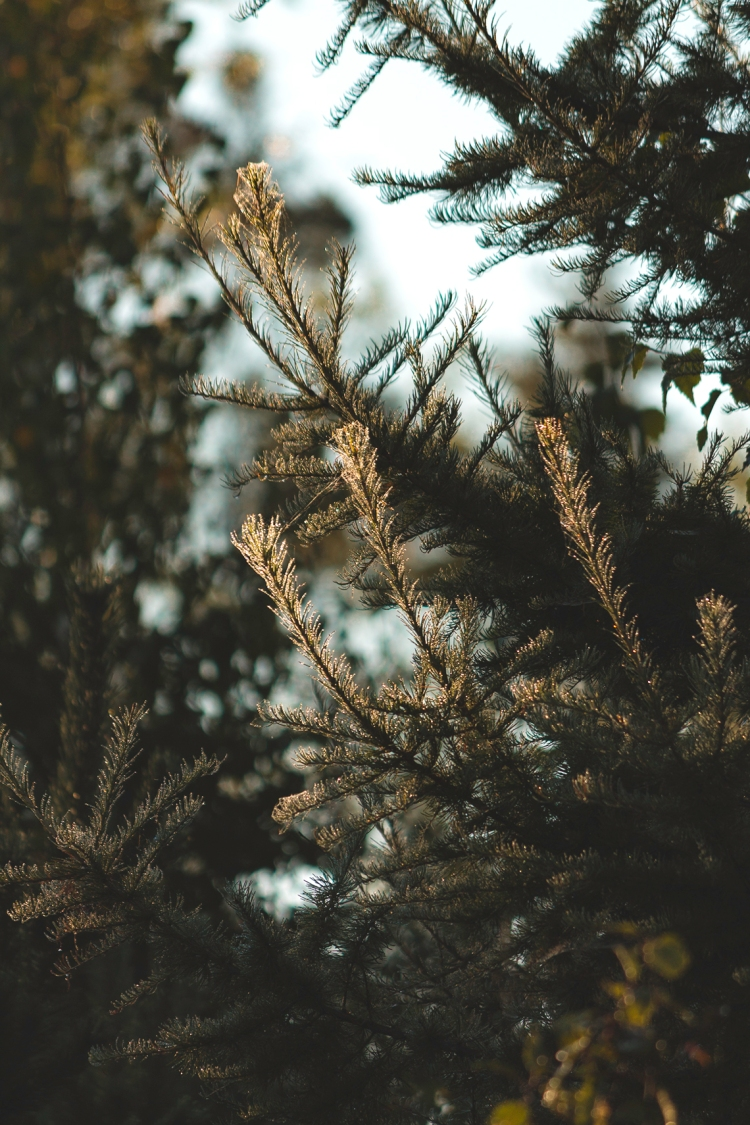 dew-frost-spruce-branches