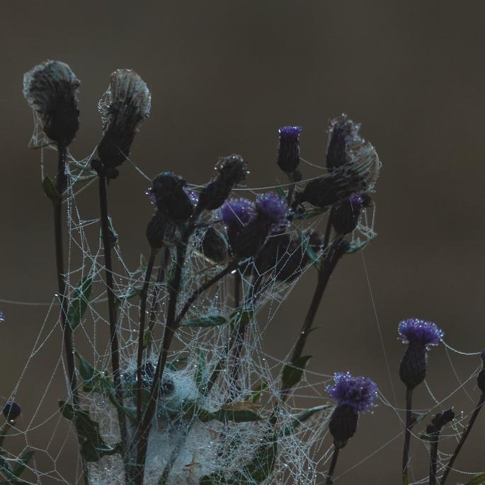 dewy-webbed-flowers