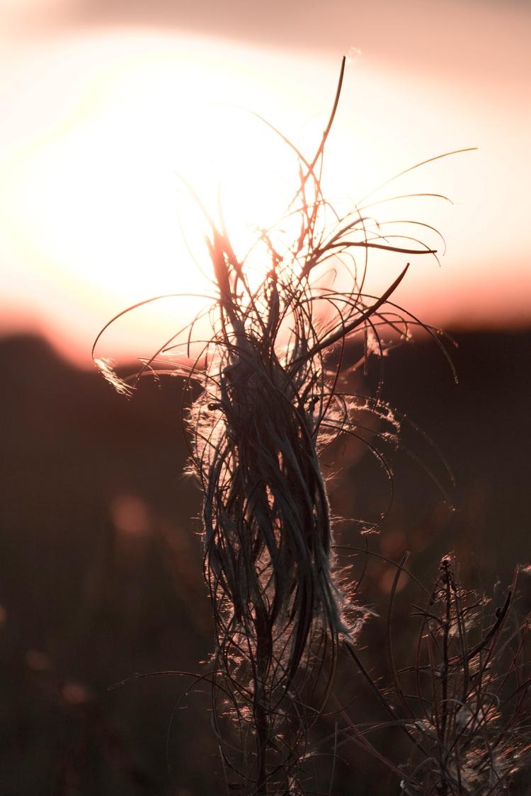 fireweed-dusk