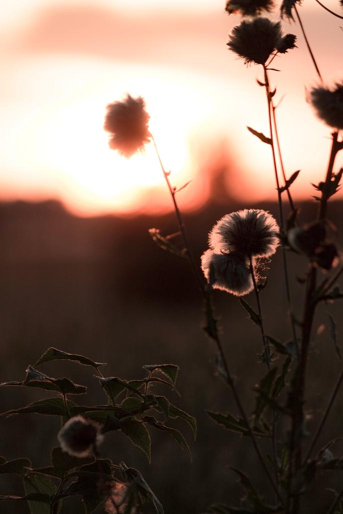 flower-blowball-dusk