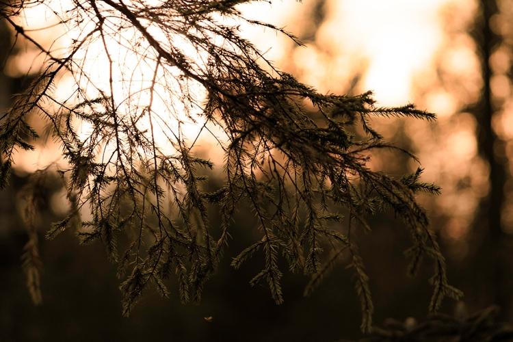 sunset-through-spruce-branch