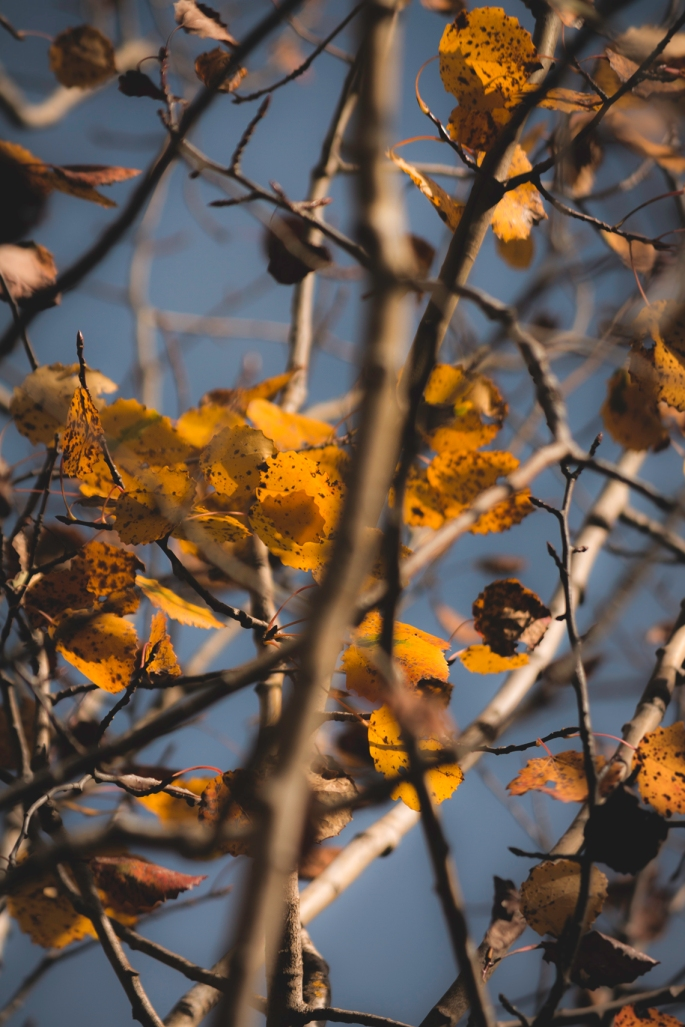 aspen-leaves-and-branches