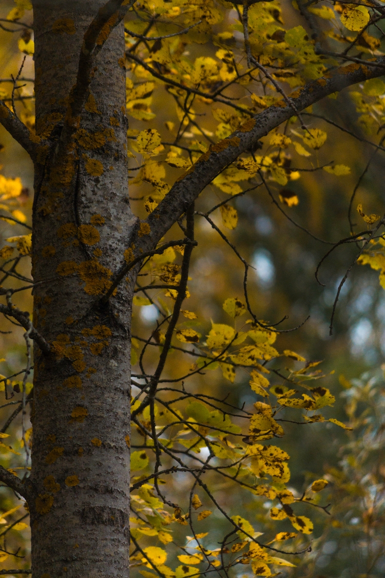autumn-aspen