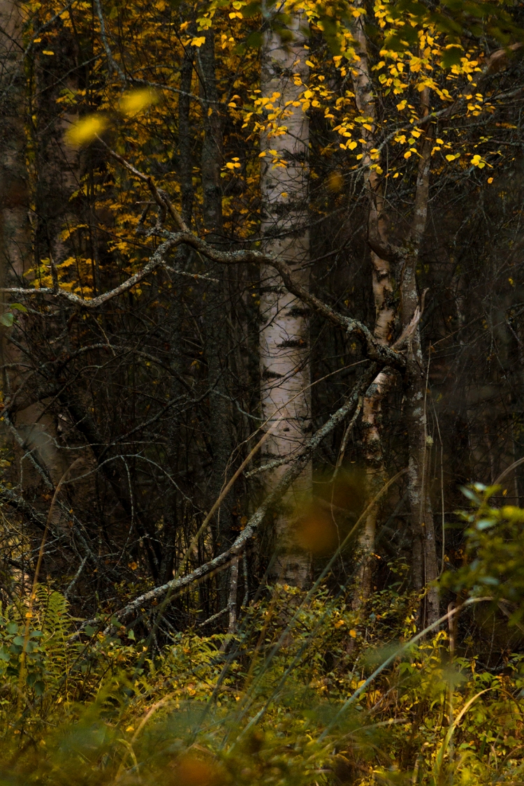 autumn-brushy-forest-birch