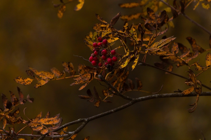 autumn-rowan-branches-leaves-and-berries