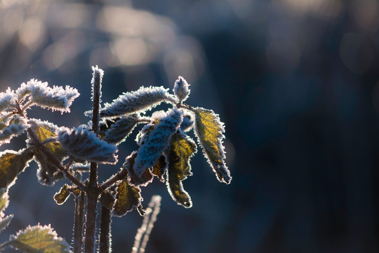 frosty-leaves