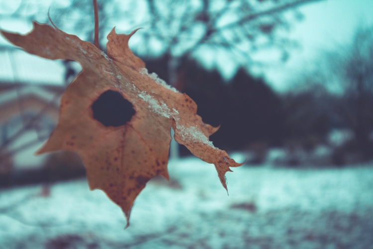 snow-on-maple-leaf