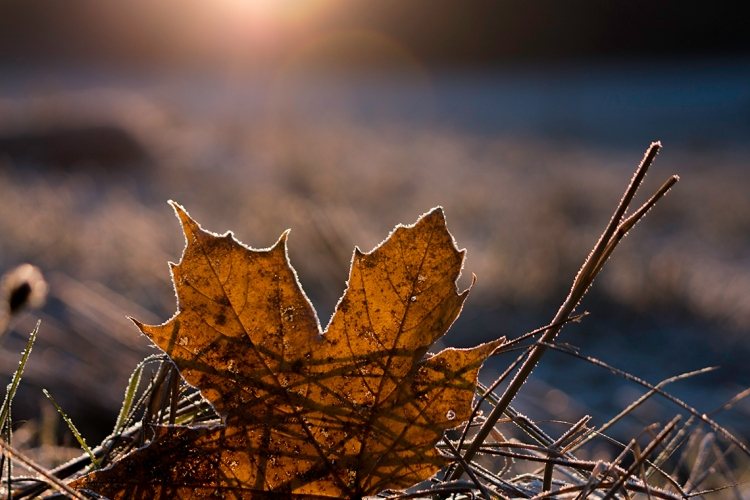 sun-glow-through-frosty-maple-leaf