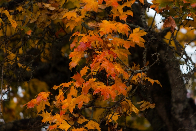 wet-autumn-maple-leaves