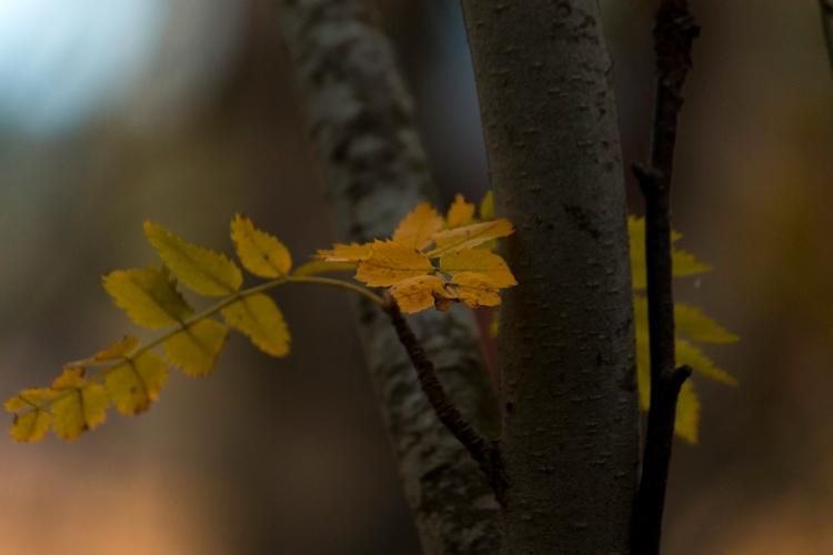 yellow-rowan-leaves-closeup