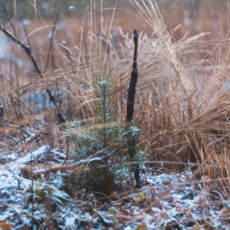 a-slightly-bigger-pine-sapling