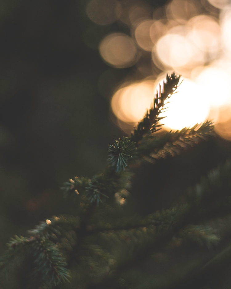 magical-bokeh-and-spruce-branches