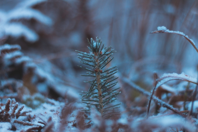 pine-sapling-in-snow