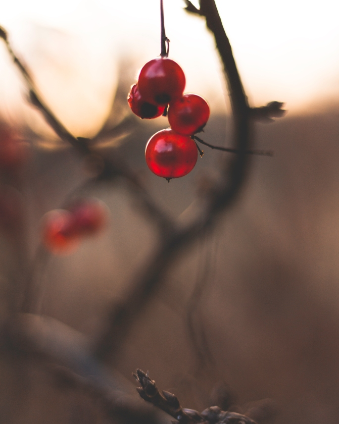 red-currants-in-sunset-depth-of-field