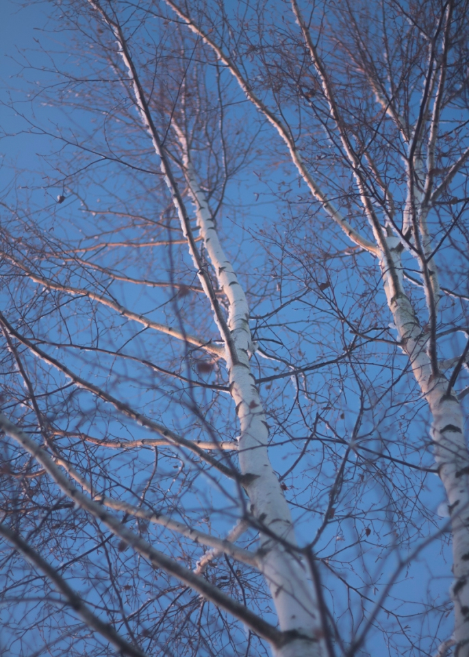 winter-birches