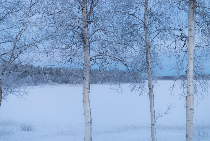 frozen-silver-birches