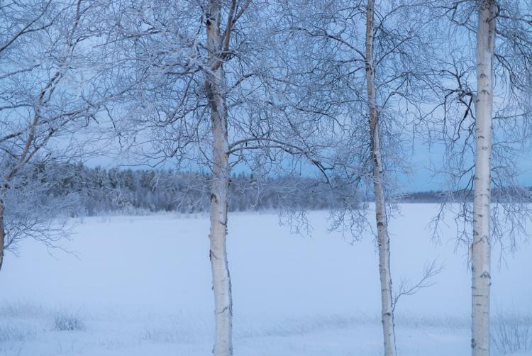 frozen-silver-birches