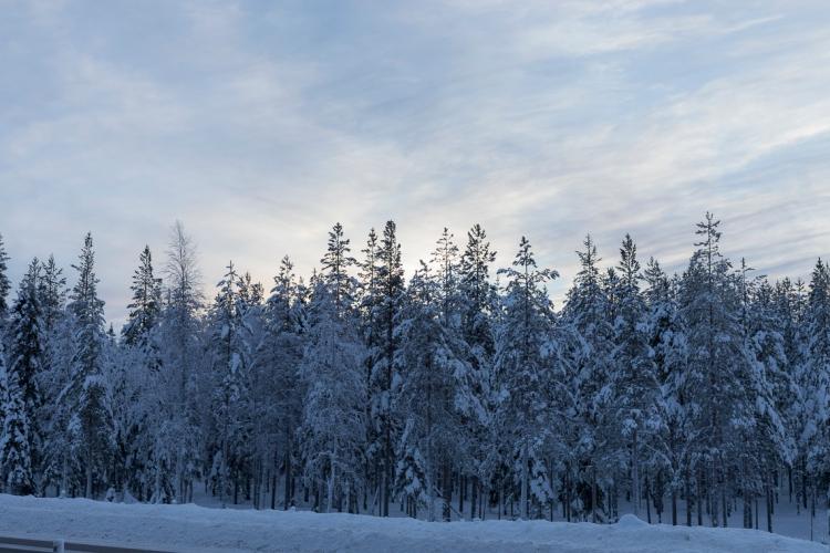 frozen-snowy-trees