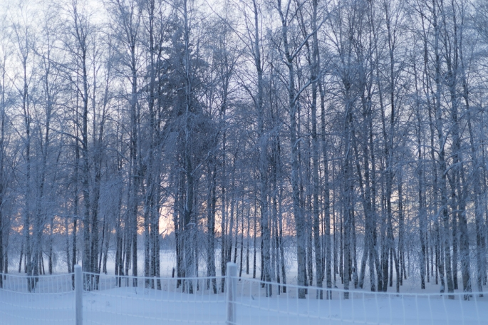 magical-light-through-wintry-birches