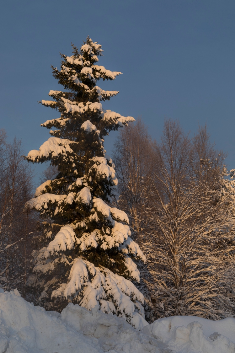 snow-covered-spruce-in-sun-glow
