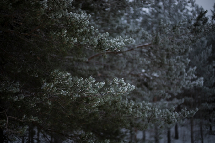 snow-powdered-evergreen-branches