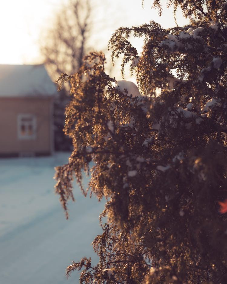 snowy-juniper-in-sunglow